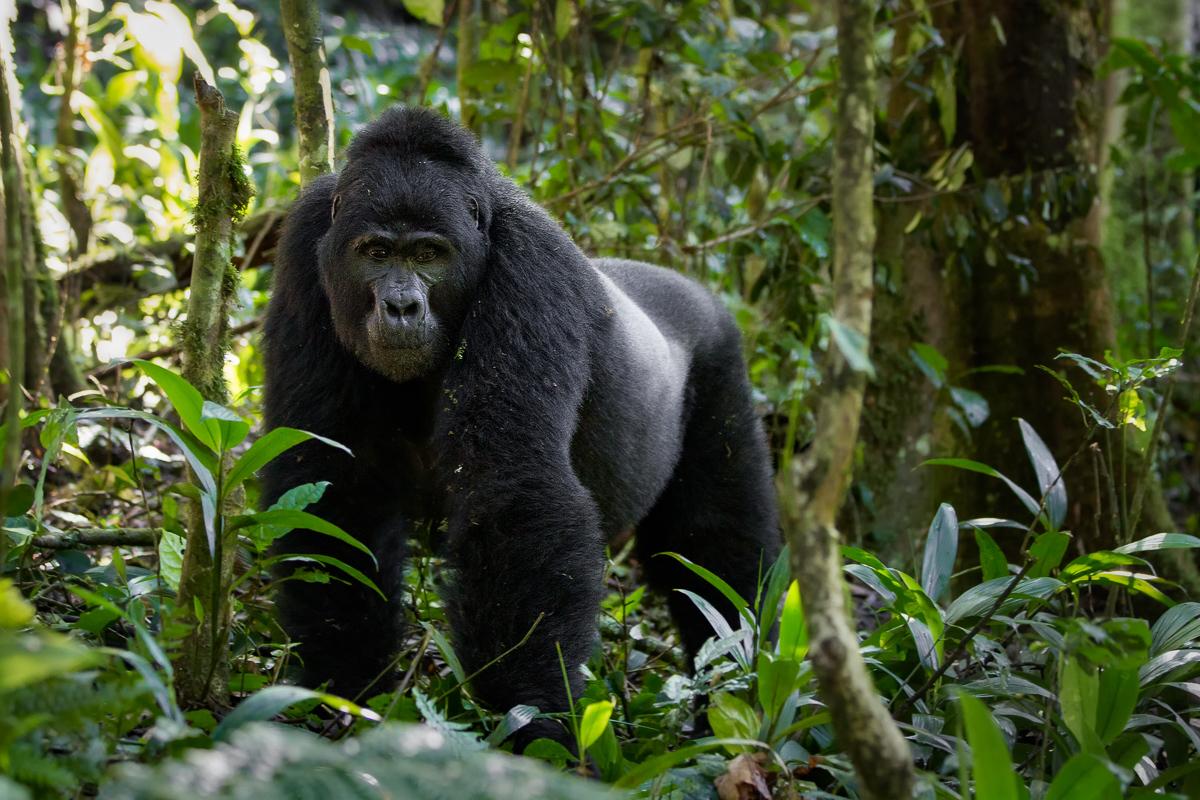 Uganda: Grandes Simios