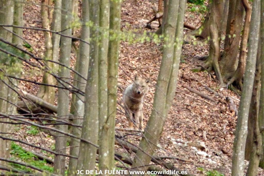 Rumanía: Osos, lobos, bisontes y delta
