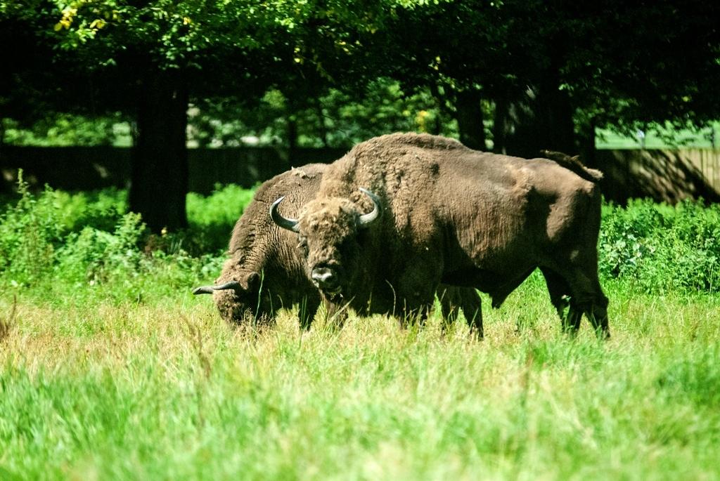 Polonia: Lobos y Bisontes